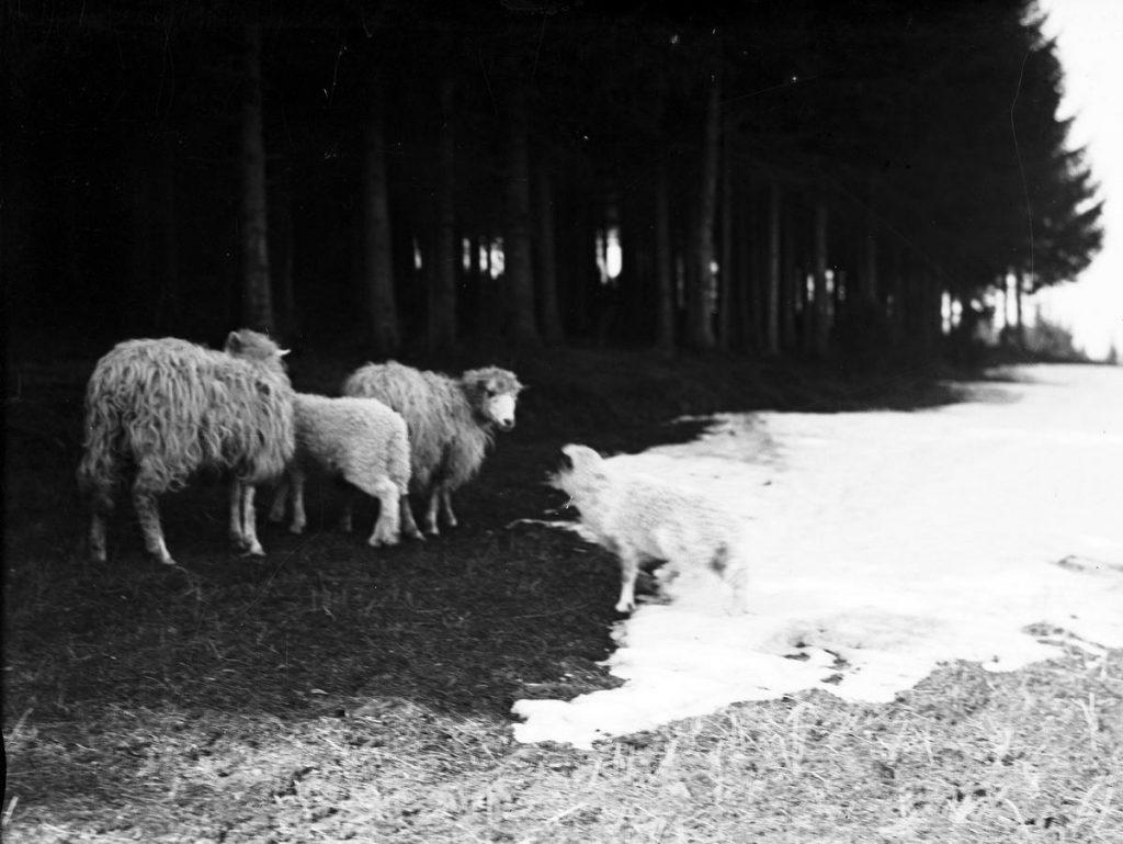 Już siedmioletnie dzieci musiały samotnie wypasać owce. Zdjęcie poglądowe (domena publiczne).