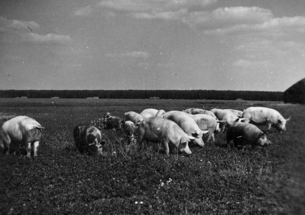 W trakcie okupacji dla mieszkańców wsi prawdziwą zmorą było rekwirowanie inwentarza przez organizacje podziemne  (domena publiczna).