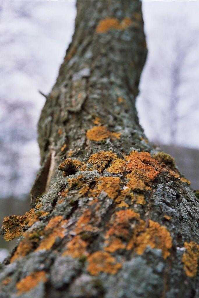 W momentach kryzysowych głodujący często sięgali po korę drzew (Szumyk/CC BY-SA 3.0).