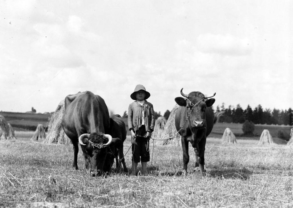 Wypas bydła na cudzym polu zagrożone było grzywną do 100 złotych (domena publiczna).