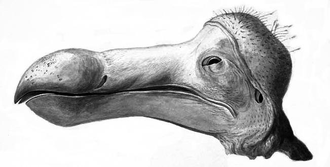 Dziób dodo na szkicu z końca XIX wieku.