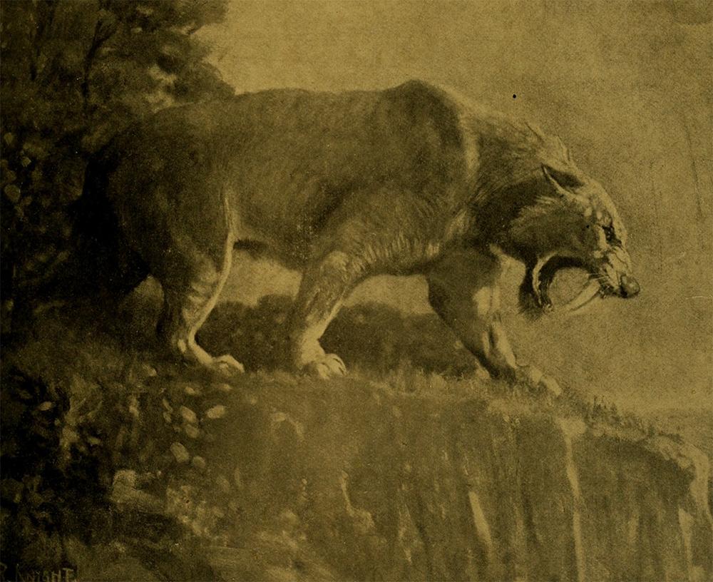 Tygrys szablozębny na grafice z początku XX wieku