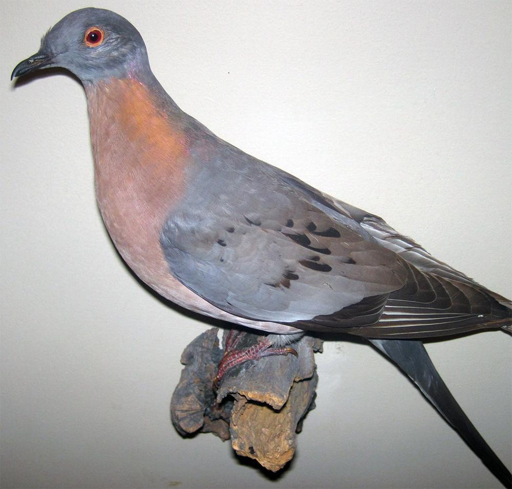 Wypchany okaz gołębia wędrownego
