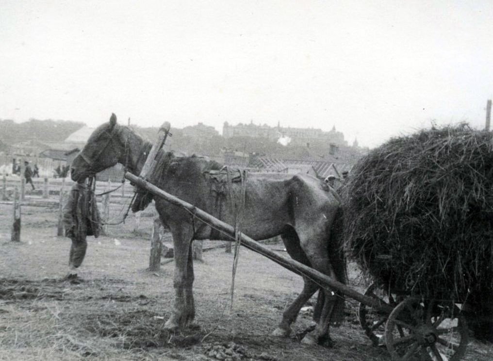 Skrajnie wychudzony koń na zdjęciu wykonanym w trakcie wielkiego głodu (domena publiczna).