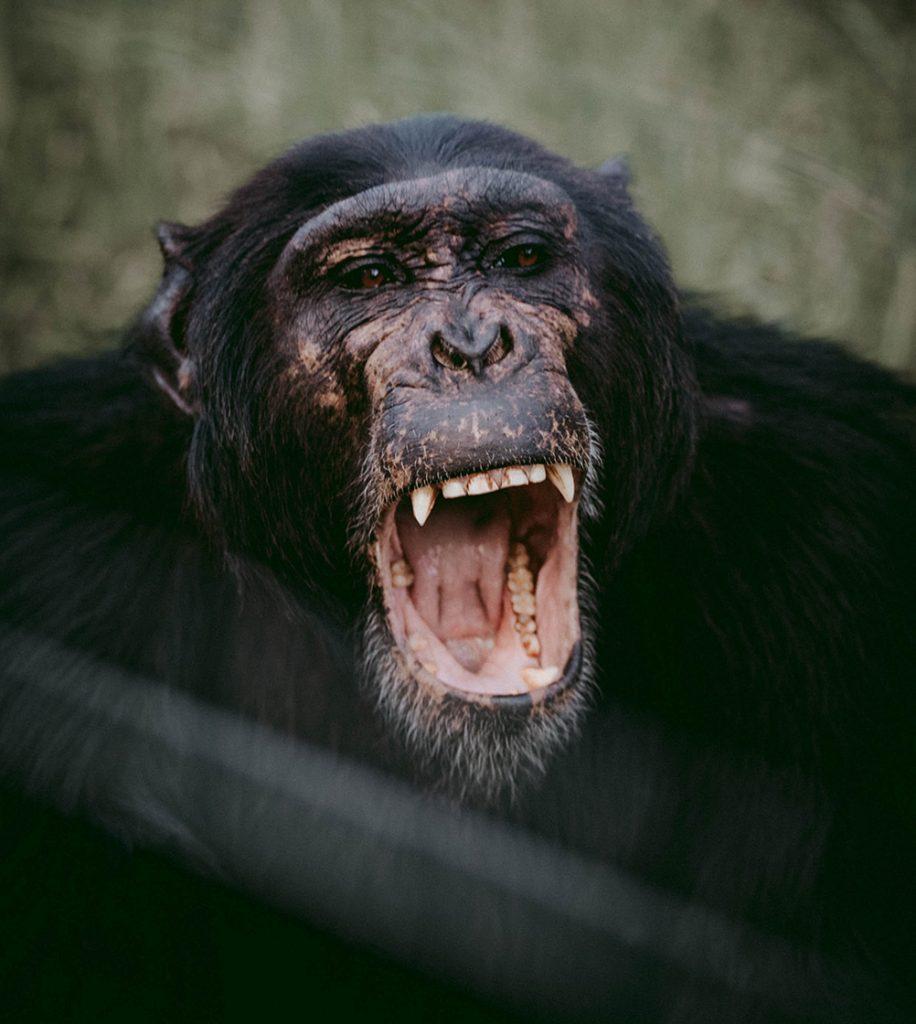 Po niepowodzeniu z nerką rezusa Keith Reemtsma zdecydował się pobrać narządy od szympansa.